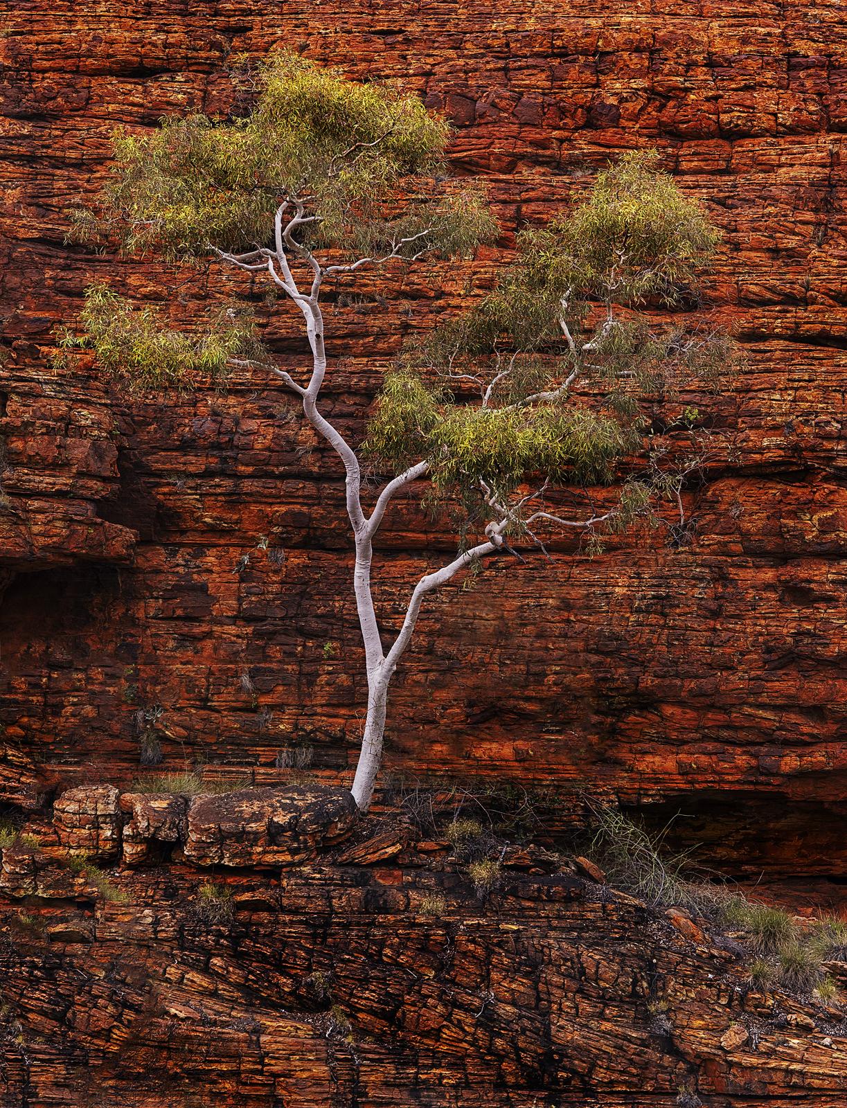 Kings Canyon Tree